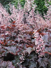 Heuchera sanguinea 'Splendens' Coral Bells (KingsbraeGarden) Tags: coralbells splendens heucherasanguinea kingsbraegarden bloomjournal