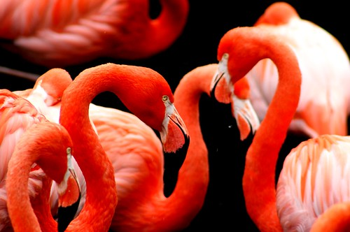 Chatting Flamingos