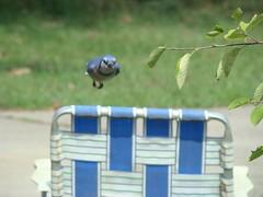 Blue Jay chair mid air