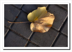 Fallen leaf-4359 (Barbara J H) Tags: leaf australia qld sunshinecoast cottontree maroochydore barbarajh countdownto2009yourdiary cottontreeleaf hibiscustitialceus
