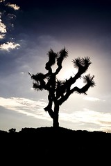 joshua tree (Nicola Zuliani) Tags: california usa nature backlight joshuatree albero nizu nicolazuliani nnusa wwwnizuit