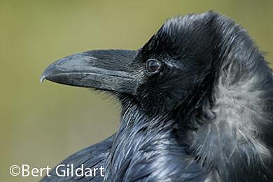 Raven smarts