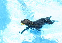 Black Labrador Retriever at the Puppy Pool Party (Pixel Packing Mama) Tags: dogsset pixelpackingmama dorothydelinaporter oyt cbat canonallcanonset thecorvallisoregonyearsset thecorvallisoregonyearspart5set canonpowershota720isset blackanimalspool puppydogswimpoolpartytobenefitheartlandhumanesociety uploadedsecondhalfof2008set pixelpackingmama~prayforkyronhorman oversixmillionaggregateviews over430000photostreamviews