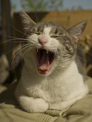 Rebeca (LinoPhilippe) Tags: chile santiago cats cat nikon feline chat flickr yawn gatos gato felino katze nikkor gatto katzen matou chatte chaton rebeca bostezo d60 hauskatze felidi 1855mmf3556gvr
