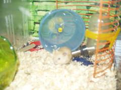 P1010002 (Danzel Ha) Tags: hamsters