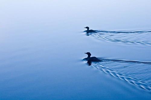Ducks on Blue