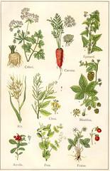 plantes potageres 1