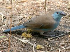 Blue Waxbill, Liwonde (Malawi), 24-Sep-08 (Dave Appleton) Tags: blue bird birds finch malawi cordonbleu waxbill passerine bluewaxbill liwonde uraeginthusangolensis bluebreastedcordonbleu angolensis bluebreasted uraeginthus estrildid