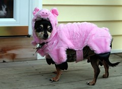 PPTT Petrifying Scooter Pig (*Michelle*(meechelle)) Tags: pink friends chihuahua halloween fun pig costume scooter explore supershot anawesomeshot lmaoanimalphotoaward heartawards allkindsofbeauty theperfectpinkdiamond thecelebrationoflife prettypinkthemedtuesday oldheartawards