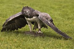 Martial Eagle (s1ngerman) Tags: wild nature birds wings feeding wildlife beak feathers predator eagles raptors birdsofprey talons plumage eagleheights martialeagle