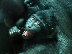 Makak (Joachim S. Mller) Tags: animal germany mammal deutschland zoo monkey hessen monkeys primate darmstadt tier affen vivarium affe macaque makak macacanigra primat sugetier makake celebescrestedmacaque schopfaffe schopfmakak crestedmacaque nikond300 nikonafs1755mmf28dx
