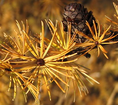 European Larch cone and leaves (Heed Nature Journal) Tags: larch conifers tamarack larix