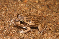 Main's Frog (Cyclorana maini), Simpsons Gap, West MacDonnell NP, Central Australia. (Michael J. Barritt) Tags: simpsonsgap centralaustralia westmacdonnellnp cycloranamaini mainsfrog