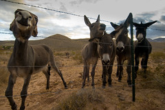 Burros - The Wild Bunch (Amicus Telemarkorum) Tags: redrockcanyon sunset red wild sky animal clouds fence nose rocks desert wildlife nevada conservation ears brush hills burro friendly curious barbwire herd burros grasslands americanwest herds ferrel boundry jeffreyrueppel nikon1224 jeffreyrueppelphotography