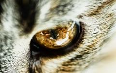 Eye Of The Mini Tiger (Peter Gorges) Tags: wallpaper macro reflection eye animal cat fur nikon background d70s 1600 flare serendipity tamron 90mm 2560 digitalcameraclub highscoreme