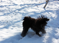 ball of motion 2 (aus36) Tags: dog snow puli lilla