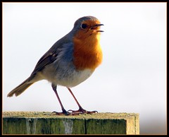 Robin (philwirks) Tags: christmas red bird public robin picnik myfavs prismatic philrichards show08