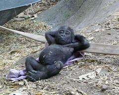 Ahhh the Good Life (njchow82) Tags: baby canada calgary animal zoo gorilla wildlife alberta calgaryzoo potofgold natture animaladdiction beautifulexpression specanimal yewande worldofanimals dmcfz18 goldstaraward rubyphotographer zoosofnorthamerica naturescreations njchow82 thecelebrationoflife hganimalsonly