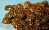 Scramble for Independence (beeater) Tags: macro beetle bugs ladybird mybackyard ladybeetle coleoptera coccinellidae tamronmacro thesmallworld australianmacro worldsmostfearsomecarnivores animalswithinsatiableappetites