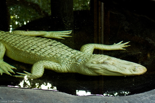 20081126_AlligatorFarm09