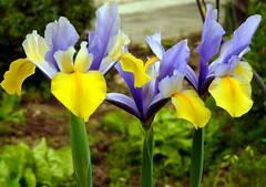 IRIS (Schano) Tags: iris flower nature photo natura explore sicily makro fiore sicilia trapani macrofotografia blueribbonwinner macrofotografias top20colorpix abigfave platinumphoto anawesomeshot bulbose overtheexcellence theperfectphotographer