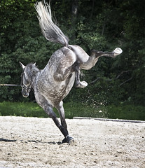 It's Friday...kick up your heels! (Isabelle Ann) Tags: horse art digital caballo cheval jumping vermont photographer digitalart dorset isabelle cavallo cavalo pferd equine equus paard horseshows hunterjumper manchestervt dorsetvt equineart vermontsummerfestival isabelleann isabelleanngreen equestrianart hunterjumpers dorsetsummerfestival equinephotographer hunterjumpershows artistichorse isabellegreen equitationart hunterjumperart dorsethorseshow hunterjumperphotography hunterjumprphotographer isabellegreenphotography isabelleannphotography isabelleannhorses mostbeautifulhorses equineartist hunterjumperphotographer hunterjumperphotograhy