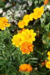 French Marigold (Tagetes patula) ´Zenith Orange´