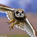 Short Eared Owl by Jim Sullivan
