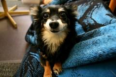 dog chihuahua cute smile dino canoneos blueblanket blackfur