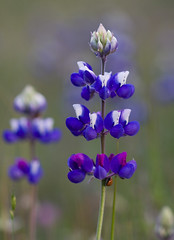 Wild Lupine 0659 (casch52) Tags: california county blue wild flower bird field lady canon bug photo spring beetle photograph wildflower placer lupine placercounty 40d copyrightedmaterialallrightsreserved copyrightedallrightsreserved familygetty