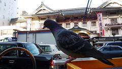 kabukiza*a dove
