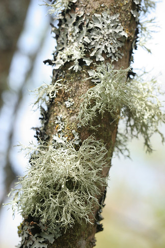 Lichen on Lilac tree