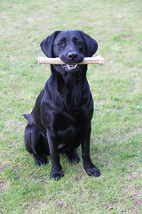 Posing (sjaradona) Tags: dog black animal canon labrador play sit bone 2010 kangoo img0015