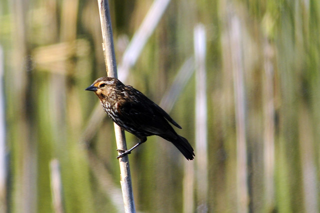toms female Red-winged female in the marsh