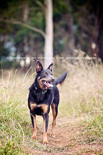 SNEAK: Meet Baxter the Kelpie, photographed by twoguineapigs pet photography.