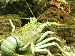 langosta (Gibrán Prudencio Mejía Mejía) Tags: camera morelia peces michoacan pex langosta zoologico crustaceos iphone4