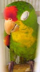 Crsipn (yazz20) Tags: red pets color verde green bird animal yellow rojo parrot colores amarillo ave animales mascotas conure loro cotorra