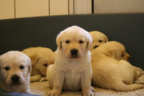 Labrador Retriever And Golden Retriever Photos Golden Labrador Puppy