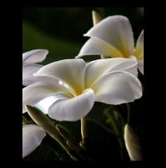 Frangipani Flowers (whoops vision) Tags: flowers sunlight white flower tree nature leaves garden petals flora blossom plumeria frangipani bloom buds