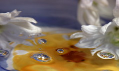 DAISIES IN WATER (jodi_tripp) Tags: blue water yellow drops bowl daisy refractions firstquality supershot joditripp spring2008 wwwjoditrippcom photographybyjodtripp
