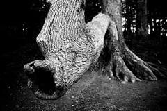 Slurp (ConfusedUs) Tags: blackandwhite bw tree texture nature outdoors virginia nikon lightroom pandapaspond tamon