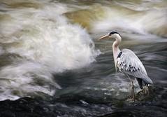 IMG_4518 (crsan) Tags: bird water crane 2008 nykping hger canon450d nykpingsn crsan holmr christianholmercom