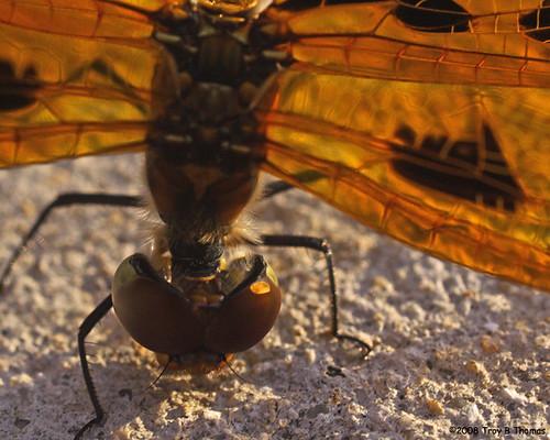 InjuredDragonfly1