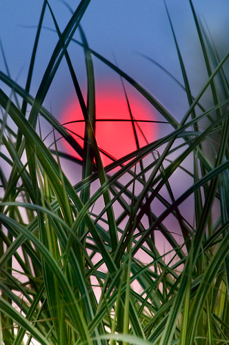 Decorative Grasses