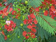 Closeup of Flamboyan (Schtroumpfette) Tags: puertorico flamboyan