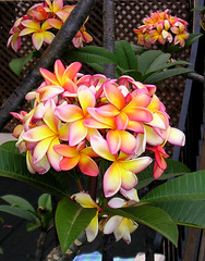 Frangipan (tricksterboy69) Tags: colours madeira bloomingflowers freephotos frangipan