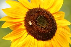 IMG_4004 (Blackavar Lion) Tags: insect bokeh bees sunflowers abeja insekt tournesol abeille girasol bij insecte biene  sonnenblume zonnebloem insecto hymenoptera       apoidea   canonrebelxti  anthophila  2be2176f59cfac7c3f99b44a73b29c9b
