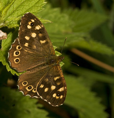 "Speckled Wood Butterfly (pararge aeg(14) • <a style=""font-size:0.8em;"" href=""http://www.flickr.com/photos/57024565@N00/2756590309/"" target=""_blank"">View on Flickr</a>"