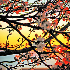 Sunrise through plum blossoms (shastadaisy~) Tags: sunrise plumblossoms mywinners colorphotoaward colourartaward artlegacy flickrslegend nowinterlastsforevernospringskipsitsturn ourmasterpieces sunrisethroughplumblossoms whiffofspring wearyofwinter