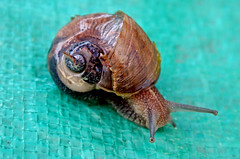 Snail with a Broken Shell (Nikki OK) Tags: broken animal shell snail mollusk wonderworld abigfave anawesomeshot